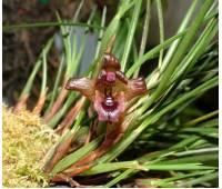 Maxillaria cogniauxiana