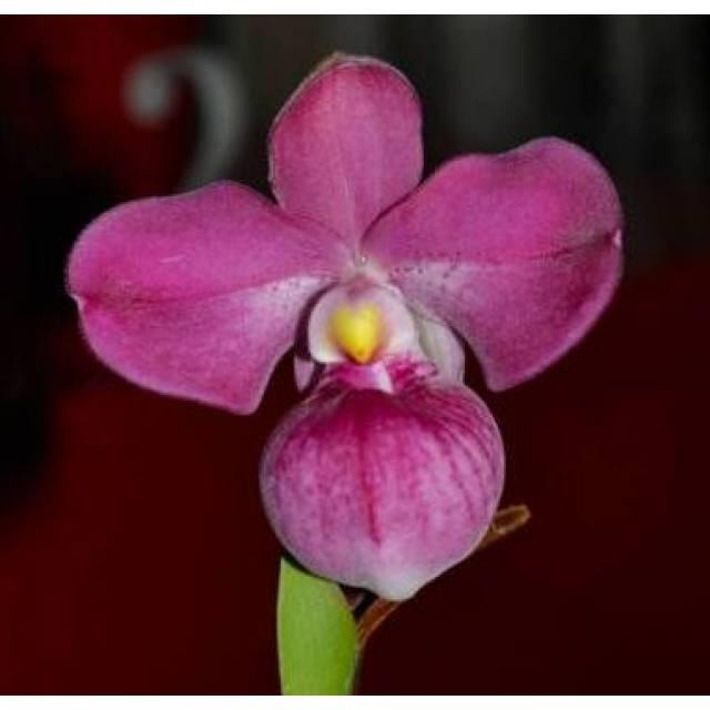 Phragmipedium Eumelia Arias (kovachii x schlimii)