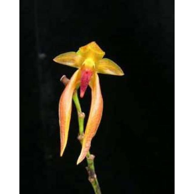 Bulbophyllum papulosum