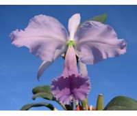 Cattleya labiata coerulea 'Bastiao' x Cattleya labiata coerulea 'Lourival'