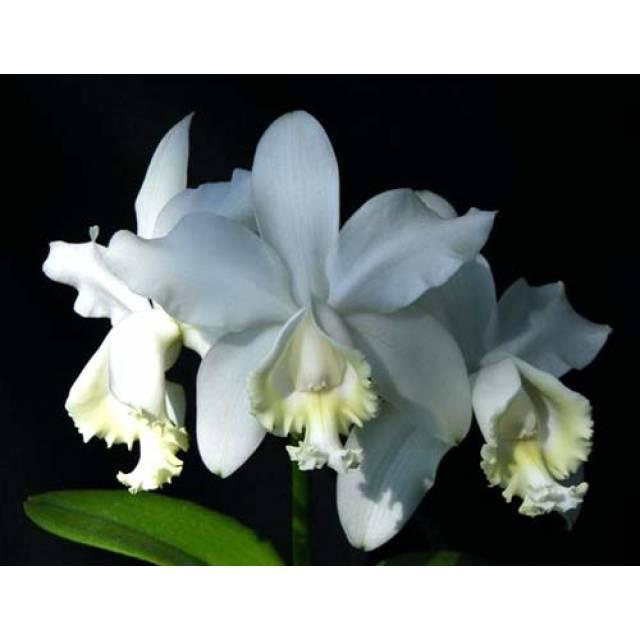 Cattleya loddigesii alba 'Rina Graciano Brizola' x Cattleya loddigesii alba 'HI'