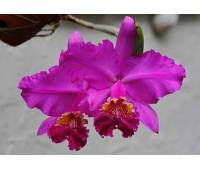Cattleya lueddemanniana rubra 'Dark Giant' x self
