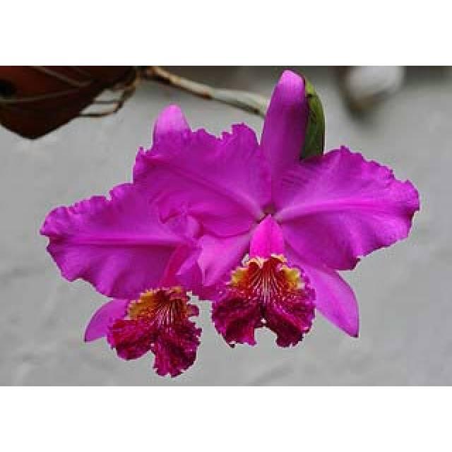 Cattleya lueddemanniana rubra 'Dark Giant' x self