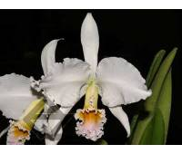 Cattleya percivaliana carnea x SELF