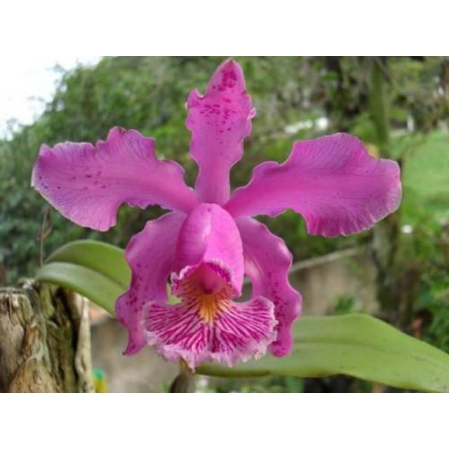 Cattleya schilleriana 'Água Surda' x Cattleya Daphne 'Bordeaux' (C. schilleriana x C. harrisoniana)