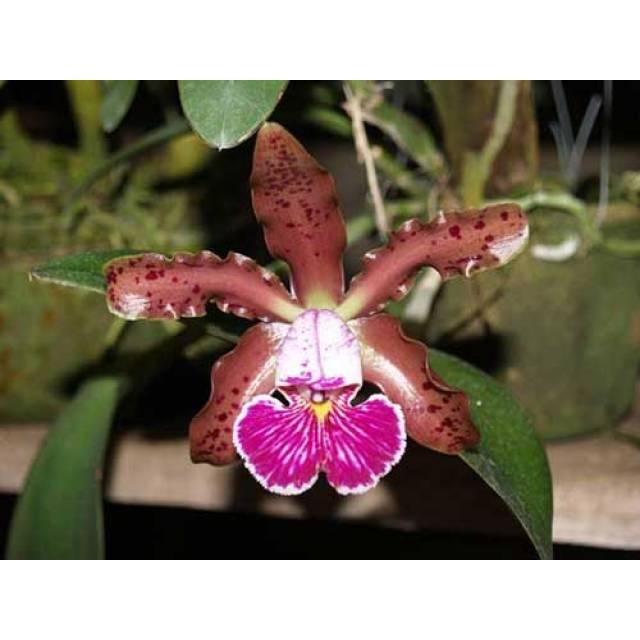 Cattleya schilleriana 'Sem ID'