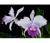 Cattleya (Valentine coerulea x intermedia coerulea aquinii)