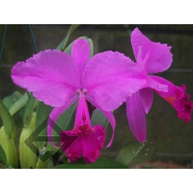 Cattleya trianae 'Junio' (12-8) x Cattleya trianae 'Sangre de Toro II' (25-8)
