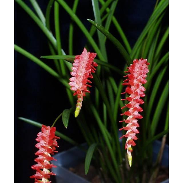 Dendrochilum wenzelii (red) x sib