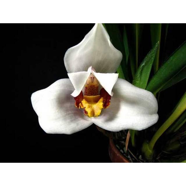 Maxillaria huebschii
