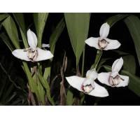 Maxillaria Macas (sanderiana x fletcheriana)