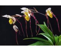 Paphiopedilum philippinense sib
