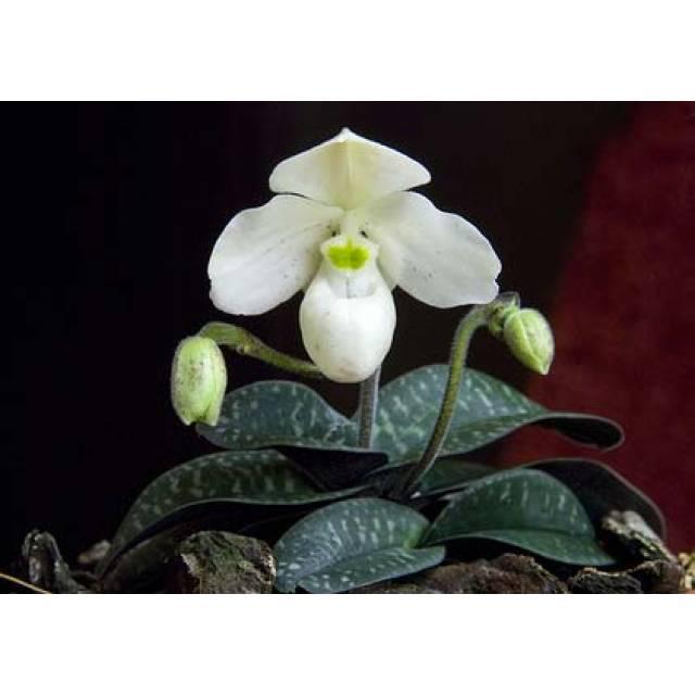 Paphiopedilum thaianum x sib