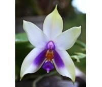 Phalaenopsis bellina 'blue'
