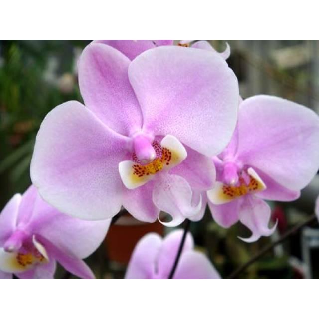 Phalaenopsis schilleriana var. immaculata