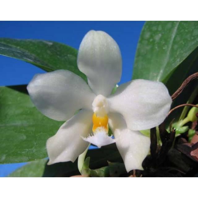 Phalaenopsis Tzu Chiang Chrisna x Phalaenopsis LD's Bear Queen
