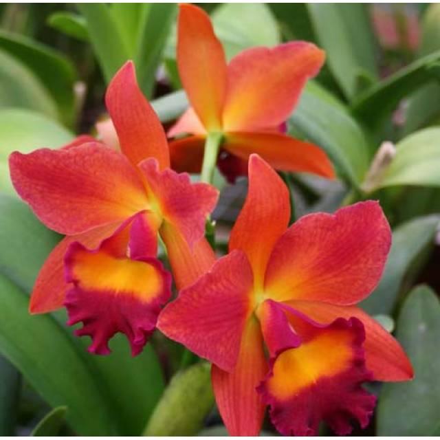 Potinara Chief Sweet Orange 'Sweet Orange'