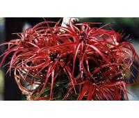 Tillandsia brachycaulos 'Giant Pink'