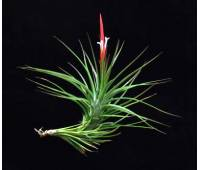 Tillandsia caulescens