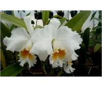 "Brassolaeliocattleya Eagle Eye ""All Victory"""