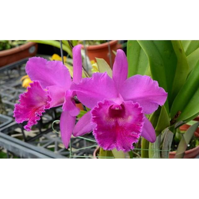 Brassolaeliocattleya Guanmiau City x B.digbyana