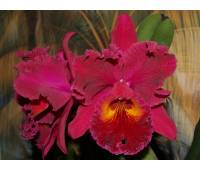 Brassolaeliocattleya Sanyung Ruby 'Kuang Lung' AM/AOS