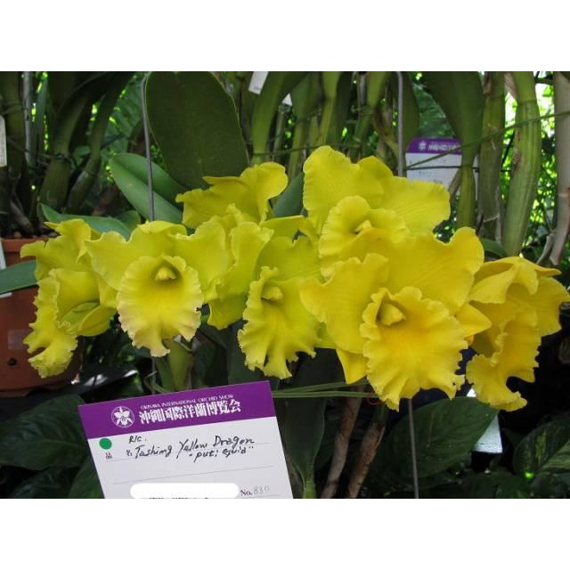 Brassolaeliocattleya Ta-Shiang Yellow Dragon 'Puti Gold'