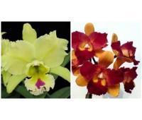 Brassolaeliocattleya Tzeng-Wen Beauty x Brassolaeliocattleya Magic Meadow