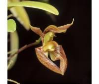 Bulbophyllum lasiochilum 'Myanmar'