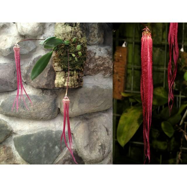 Bulbophyllum treschii