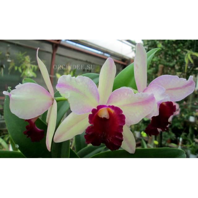 Cattleya hybrid 04