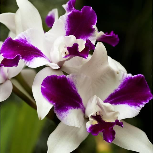 Cattleya Purple Cascade