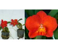 Cattleya Red Doll