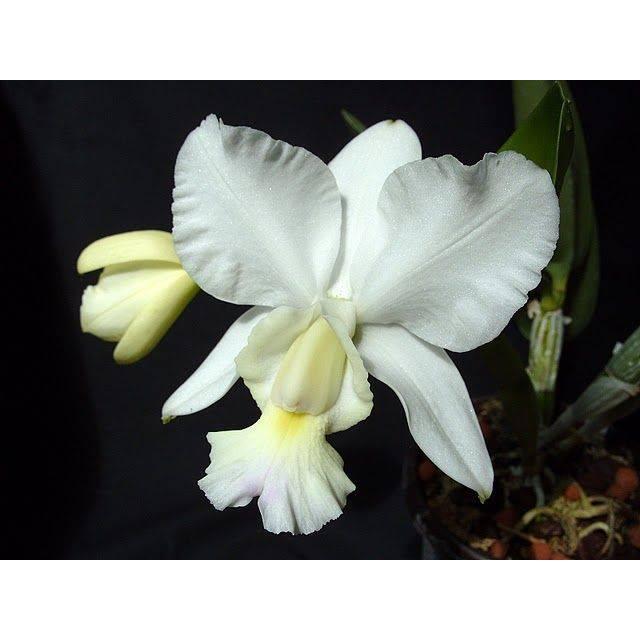 Cattleya dolosa alba