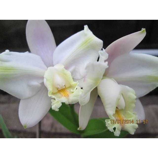 Cattleya harrisoniana var. trilabelo