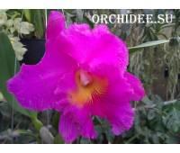 Cattleya hybrid 20