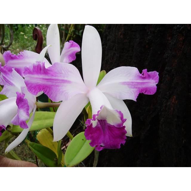 Cattleya intermedia aquini
