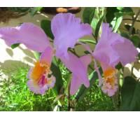 Cattleya mossiae semialba x sud America