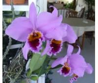 Cattleya percivaliana 'Carache 88' x 'ST 4829'
