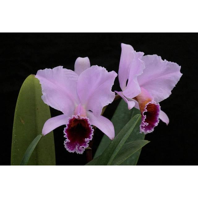 Cattleya percivalliana