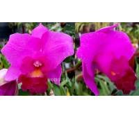 Cattleya Purple hybrid