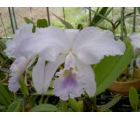 Cattleya warneri coerulea