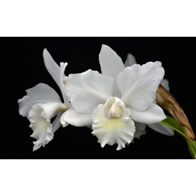 Cattleya Weddling Song Hawaii