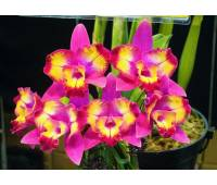 Cattleya Hawaiian Splash 'Lea' BM/JOGA