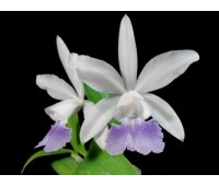 Cattleya Walkerinter fma. coerulea