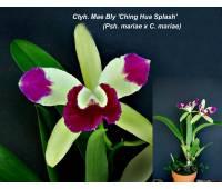 Epilaeliocattleya (Cty) Mae Bly 'Ching Hua Splash' AM/AOS