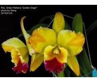 Rhyncholaeliocattleya Green Rattana 'Golden Angel'