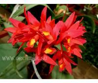 Cattlianthe Rojo ( cattleya milleri x guarianthe aurantica)