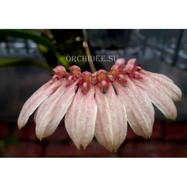 Cirrhopetalum baucoense