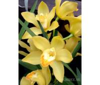 Cymbidium Gold